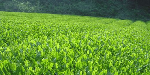 初摘み新茶、一番摘み新茶、八十八夜新茶卸値
